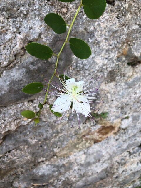 fleur de câpre